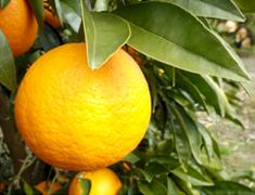 淡路特産「ナルトオレンジ」の六次産業化に向けた総合研究