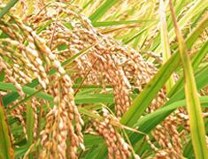 野菜とイネを中心とした高度病害抵抗性品種の開発