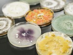 キノコ廃菌圧を用いた地域特産農作物の病害防除
